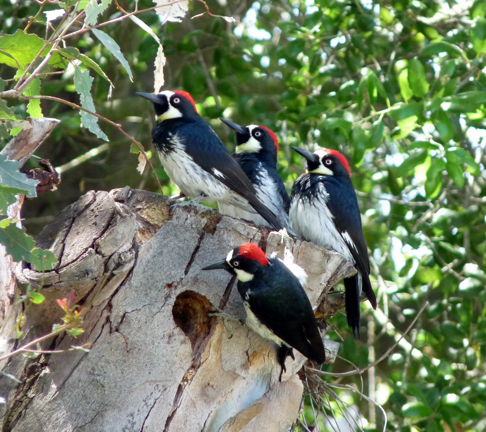 Acorn-Woodpeckers-in-Crest